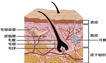 皮肤的结构层次